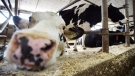 Dairy cows are shown in a barn on a farm in eastern Ontario on Wednesday, April 19, 2017. THE CANADIAN PRESS/Sean Kilpatrick