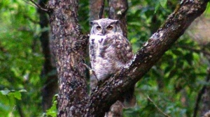 A Great Horned Owl visiting us at Granite Hills. Photo by Ray Senez.