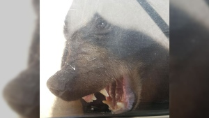 A photo released by B.C. Mounties shows an adult male bear gnawing at a home's door after being locked outside. (Sunshine Coast RCMP)
