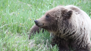 A grizzly bear is seen in this undated handout photo. Scientists at the University of Alberta say conflict between grizzly bears and people in southwestern Alberta is growing. (THE CANADIAN PRESS/HO, Mark Boyce)