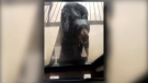 bear enters sunshine coast home