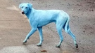 Local residents spotted the blue dogs roaming the streets in an industrial neighbourhood of Mumbai, India. (Arati Chauhan/Facebook)