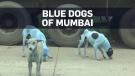 River pollution turns dogs blue in India