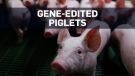 Gene-edited pigs could provide organs for humans