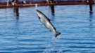 An Atlantic salmon leaps while swimming inside a farm pen near Eastport, Maine, Sunday, Oct. 12, 2008, in Eastport, Maine. AP Photo/Robert F. Bukaty