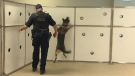 RCMP PSD Eve and her handler Cpl. Dan Block demonstrate her ability to search for and detect fentanyl on Tuesday, August 22, 2017.