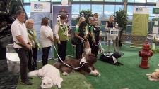 YVR introduces adorable team of therapy dogs