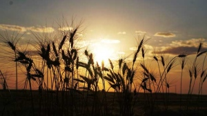 Wheat field sunset at Pembina Valley. Photo by Heather Brown.