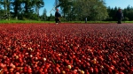 In this Oct. 11, 2016 photo, farmworkers walk through a cranberry bog on a farm in Ilwaco, Wash. (AP Photo/Ted S. Warren)