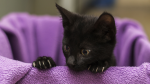 The BC SPCA is crowdfunding to raise money to help Prairie Rose, a small kitten injured when it was thrown out of a moving vehicle. (BC SPCA)