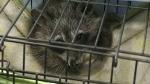 CTV Barrie: Raccoon rescue