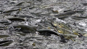 Salmon churn the water, waiting for their chance to make their way up the fish ladder at Douglas Island Pink and Chum, Inc., on Friday, Aug. 11, 2017, in Juneau, Alaska. The ladder's water flow was designed to attract spawning adult salmon, according to an exhibit at the facility, which incubates, rears and releases various species of salmon. (AP Photo/Becky Bohrer)