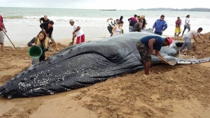 People work to save a humpback whale stranded on the shore at Rasa Beach in Buzios, Brazil, Thursday, Aug. 24, 2017. With the help of hundreds of people and the return of the high tide, the whale returned to the ocean. (Bebeto Karolla / Folha de Buzios via AP)