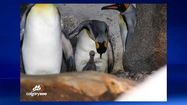 Calgary Zoo - king penguin chick