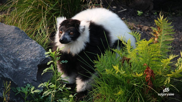 Sava - Calgary Zoo's black-and-white ruffed lemur