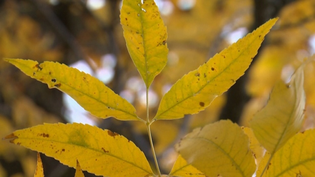 Canadians can look forward to an array of colours on the trees this fall, Dave Phillips said.