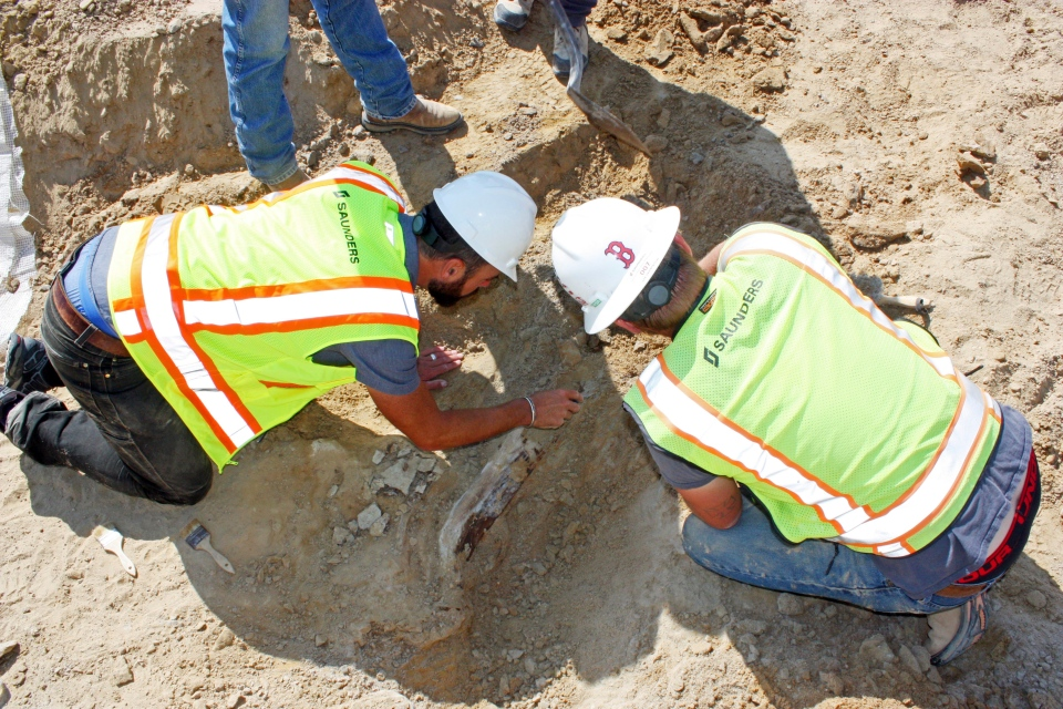 This Monday, Aug. 28, 2017 photo provided by the city of Thornton, Colo., shows workers unearthing a fossil of a triceratops dinosaur discovered by construction workers on Aug. 25 in Thornton. (Lisa Watson/City of Thornton, Colorado, via AP)