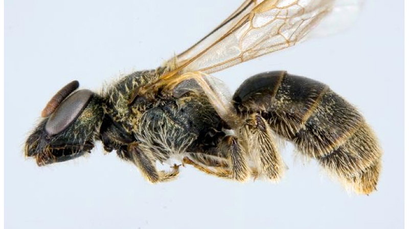 Sable Island Sweat Bee