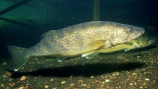 In this April 2008 photo from the U.S. Fish and Wildlife Service, a walleye is seen. (AP Photo/U.S. Fish and Wildlife Service, Eric Engbretson )
