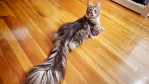 This undated photo provided by Guinness World Records 2018 shows Cygnus, a Silver Maine Coon cat, of Ferndale, Mich. Cygnus is the record holder for the longest tail on a domestic cat (living) at 44.66 cm (17.58 inches). (Kevin Scott Ramos/Guinness World Records 2018 via AP)