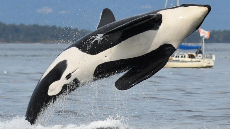 Orca gallery/resized.jpg