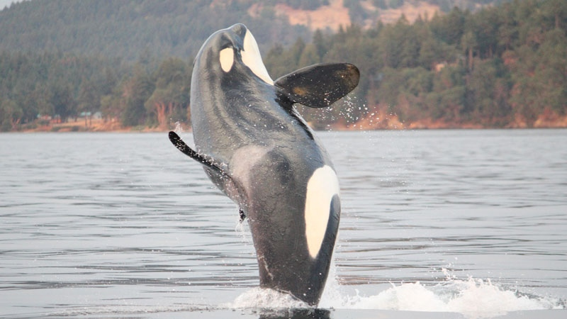 Southern resident L113 launched itself out of the water in a photo-worthy breach off the southern coast of Vancouver Island on Sept. 4, 2017. (Melisa Pinnow / Center for Whale Research)