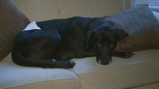 Quill the Dog is still recovery after being found on the side of the road in Loon Lake, Sask., in August.