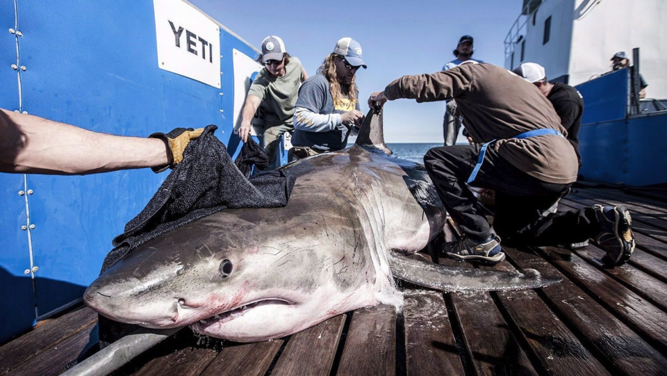 A shark known as 'Hilton' is seen in this undated handout photo. (THE CANADIAN PRESS/HO, Robert Snow, OCEARCH)