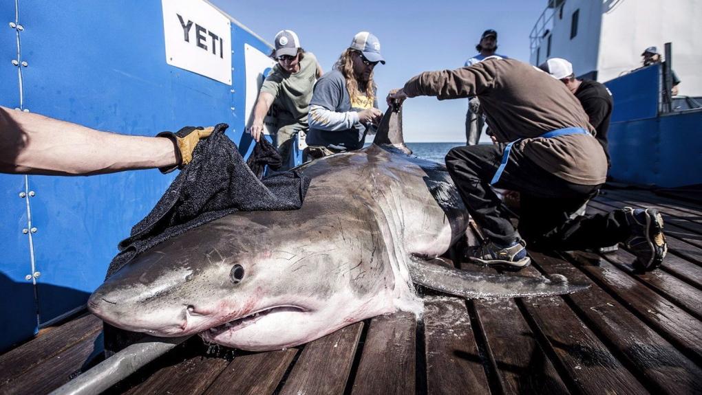 Hilton the shark
