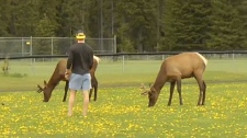 Elk behaviour in Banff