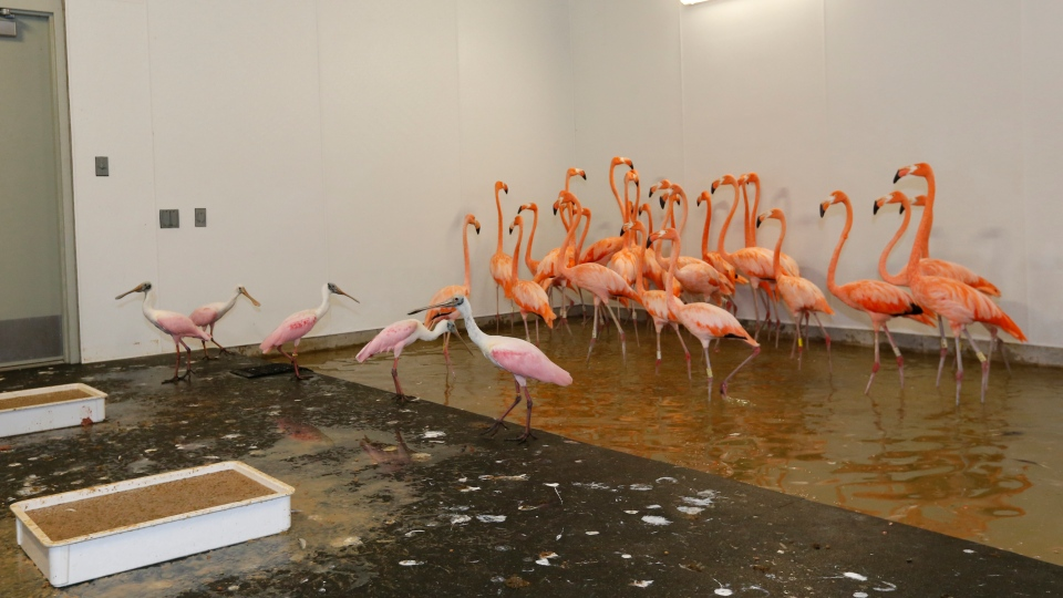 Flamingos, rear, and roseate spoonbills, left foreground, at Zoo Miami, share a temporary enclosure in a hurricane resistant structure within the zoo, Saturday, Sept. 9, 2017 in Miami. (AP Photo/Wilfredo Lee)