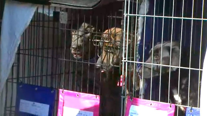 Dogs peek out of cages after making a cross-country trip from Houston to Canada.