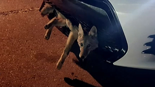Georgie Knox says she found this coyote lodged in her car after driving to work in Calgary from Airdrie. (Supplied)