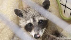 baby raccoon burned