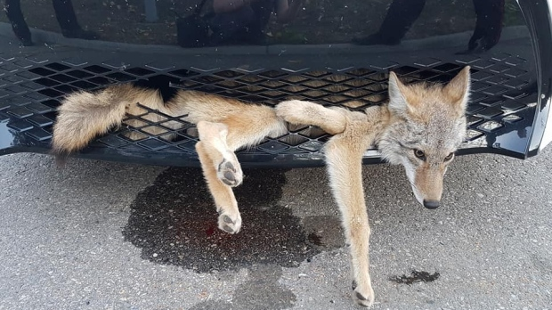 A coyote is shown stuck in the grill of an Alberta woman's car. (Georgie Knox / Facebook)