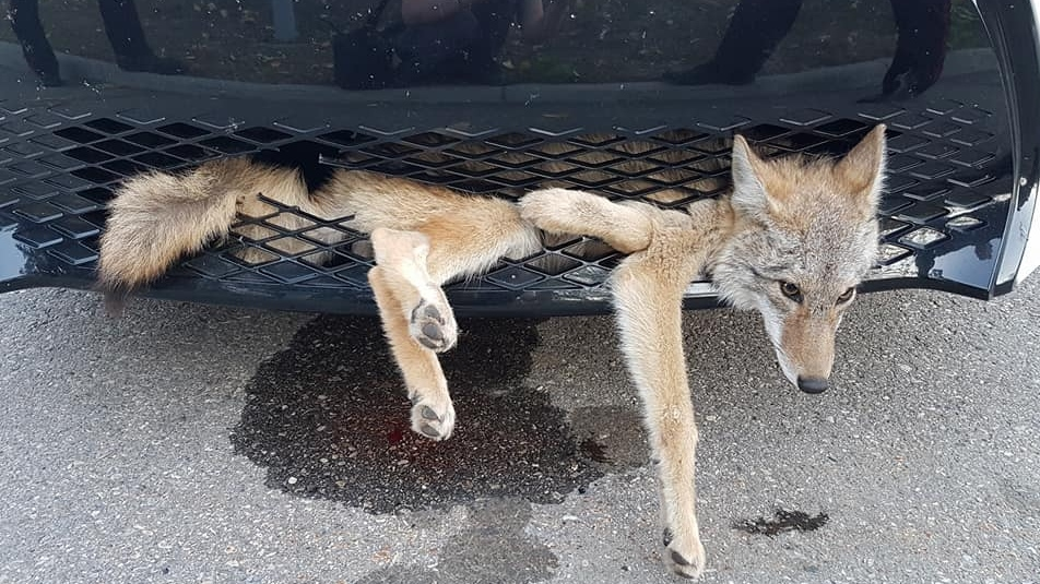 Coyote Struck By Car Found Alive In Vehicle S Front End Ctv News