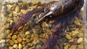 A red swamp crayfish
