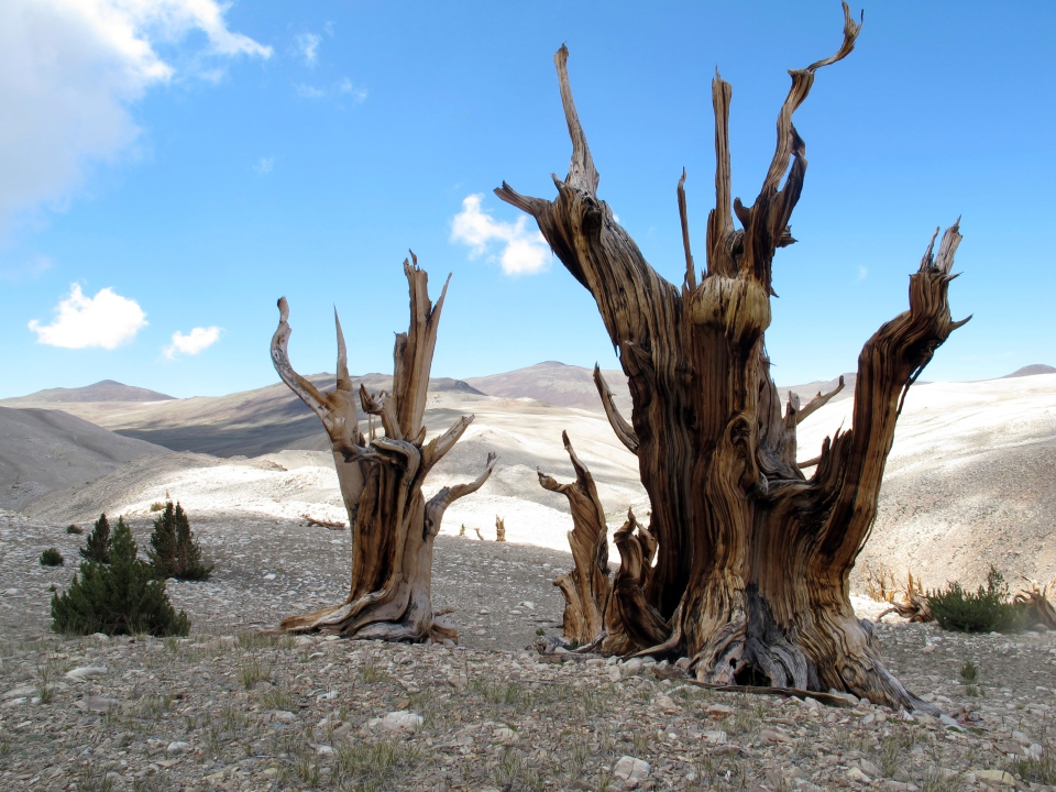 This July 24, 2013, photo provided by Brian Smithers, shows gnarled, bristlecone pine trees standing with young limber pines growing around them in the White Mountains in east of Bishop, Calif. (Brian Smithers/University of California, Davis via AP)