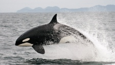 In this July 2005 photo provided by Canada's Department of Oceans and Fisheries, a transient killer whale breaches off the coast of British Columbia. (AP Photo / Department of Fisheries and Oceans, Graeme Ellis)