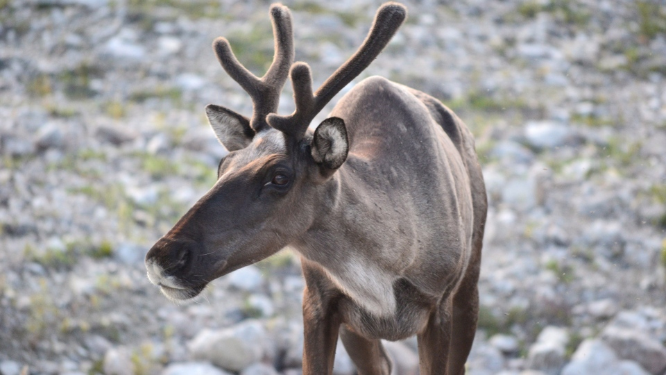 A Woodland caribou is shown in a British Columbia government handout photo. (THE CANADIAN PRESS / HO-Government of British Columbia)