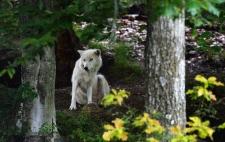 wolf, Quebec, Canadian wildlife