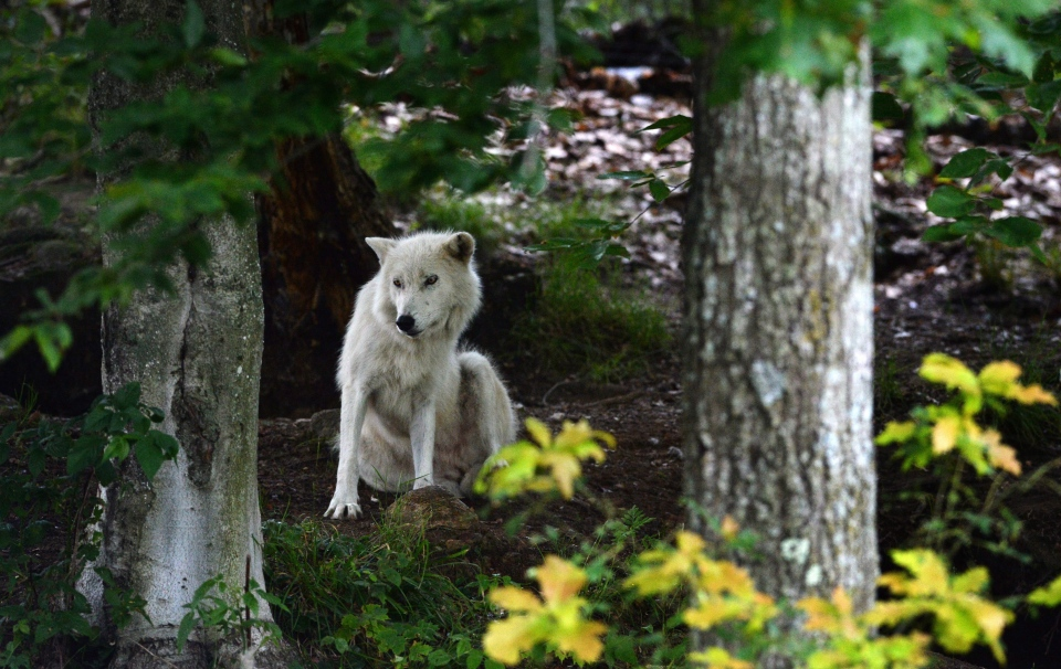 A wolf is seen at Parc Omega in Montebello, Quebec, on Wednesday, July 13, 2016. (THE CANADIAN PRESS/Sean Kilpatrick)