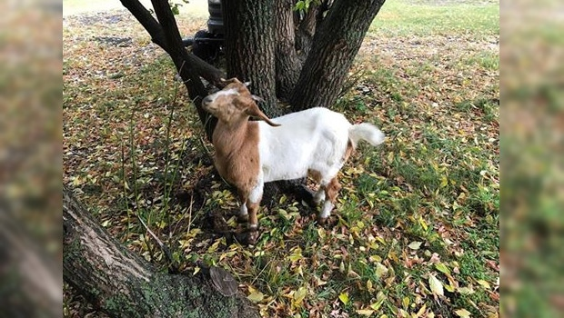 Farm Animal Rescue and Rehoming Movement (FARRM) posted this photo of Daisy the goat, back at home, on Thursday, September 14, 2017. Supplied.