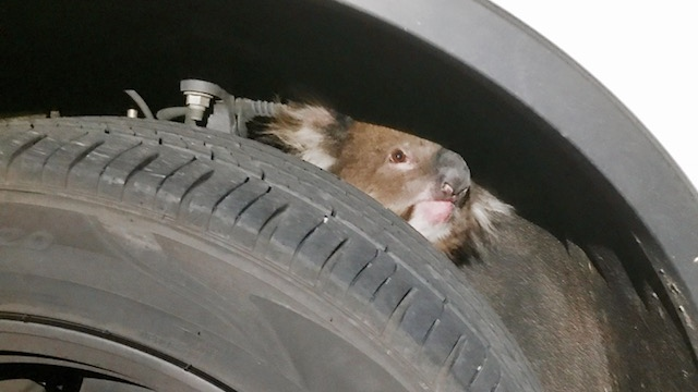 Local media reported that the female koala crawled into the tight spot by the wheel arch while the vehicle was parked on the outskirts of Adelaide. (Credit: Facebook/Fauna Rescue of South Australia Inc via Storyful.)