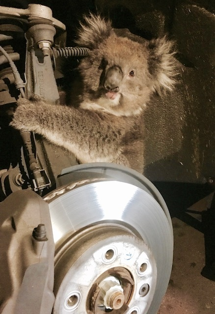 A koala survived a 10-mile (16 kilometer) road trip in southern Australia on September 9, by clinging to the axel of a vehicle. (Credit: Facebook/Fauna Rescue of South Australia Inc via Storyful.)