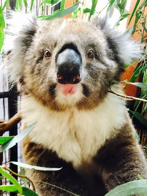 Kelly photographed while recovering in the care of Fauna Rescue. (Credit: Facebook/Fauna Rescue of South Australia Inc via Storyful.)