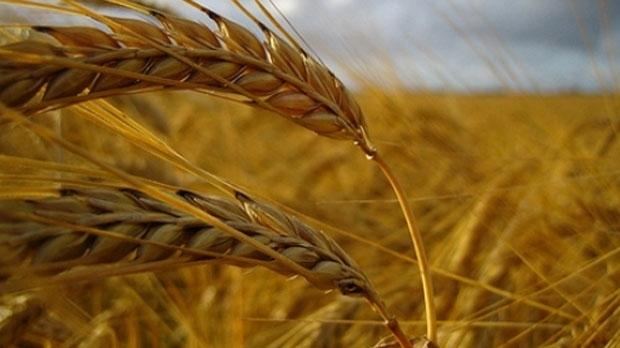 Canadian grain