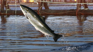 An Atlantic salmon leaps in a Cooke Aquaculture farm pen near Eastport, Maine on Oct. 11, 2008. (AP / Robert F. Bukaty)