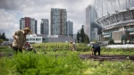 People work at Sole Food Street Farms in downtown Vancouver, B.C., on July 13, 2017. (Darryl Dyck / THE CANADIAN PRESS)