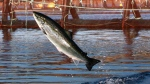 In this Oct. 11, 2008 file photo, an Atlantic salmon leaps in a Cooke Aquaculture farm pen near Eastport, Maine. A surge of parasitic sea lice is disrupting salmon farms around the world, infesting salmon farms in the U.S., Canada, Scotland, Norway and Chile. (AP Photo/Robert F. Bukaty, File)